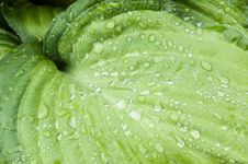 Raindrops On A Large Leaf Royalty Free Stock Image