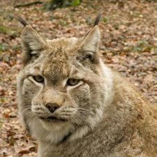 Free Portait Of A Lynx Stock Photo - 31374020