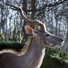 Free Portrait Of A Male Kudu In Winter Royalty Free Stock Images - 31375709