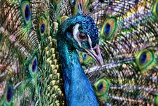 Free Peacock Royalty Free Stock Image - 31379526