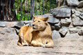 Free Lioness At The Zoo Royalty Free Stock Image - 31380036