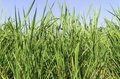 Free Rice Field Royalty Free Stock Image - 31383186