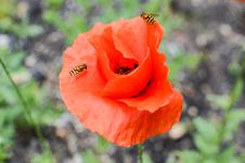 Free Closeup Of Poppy Flower Stock Photos - 31380163
