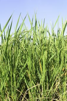 Free Rice Field Royalty Free Stock Photography - 31382607