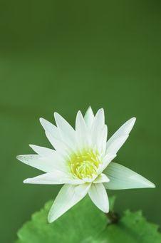Free White Lotus Royalty Free Stock Photography - 31382657