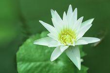 Free White Lotus Stock Image - 31382741