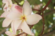Free Frangipani Flowers Stock Images - 31385194