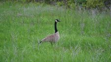 Free Canadian Goose Royalty Free Stock Photography - 31386957
