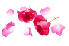 Free Roses Isolated Stock Images - 31387544