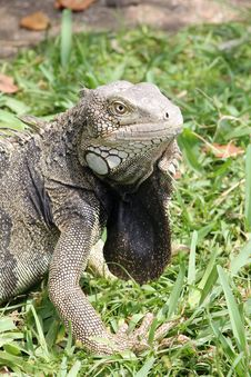 Free Green Iguana Portrait Royalty Free Stock Image - 31389956