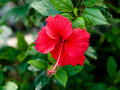 Free Hibiscus Flower Royalty Free Stock Images - 31397249