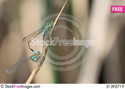 Free Damselfly Royalty Free Stock Images - 31395719