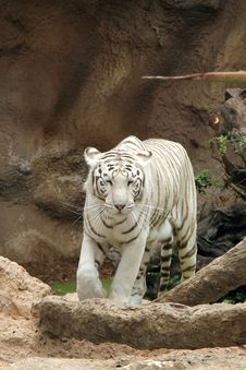 Free White Tiger Royalty Free Stock Photo - 31390035