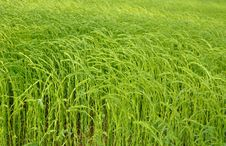 Free Field Of Flax Stock Photos - 31391243