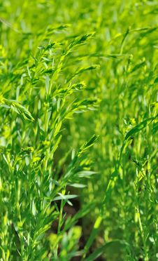 Free Field Of Flax Royalty Free Stock Images - 31391359