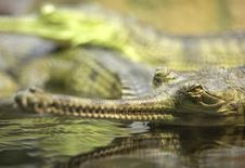 Free Gharial Royalty Free Stock Photo - 31391875