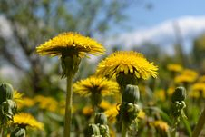 Free Dandelions Royalty Free Stock Images - 31392429