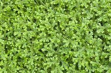 Free Selaginella Kraussiana &x28; Trailing Selaginella &x29; Stock Image - 31393701