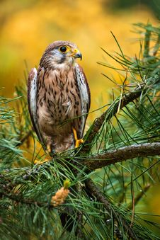 Free Kestrel Stock Photo - 31396290