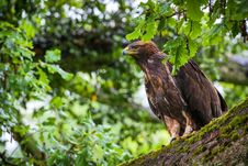 Free Steppe Eagle Royalty Free Stock Photo - 31396685