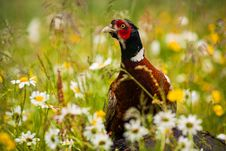 Free Pheasant Royalty Free Stock Photography - 31396807