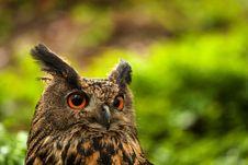 Free Owl Stock Image - 31397281