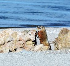 Free Marmot By The Lake Royalty Free Stock Photos - 31399468