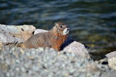 Free Marmot By The Lake Stock Images - 31399554