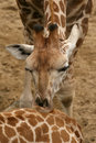 Free Giraffe Kissing Other Royalty Free Stock Photography - 3149347