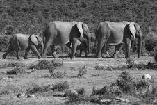 Free Elephants Walking Royalty Free Stock Image - 3140106