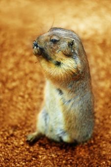 Free Prairie Dog Royalty Free Stock Image - 3140206