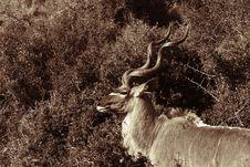 Free Kudu Ram Stock Image - 3140211