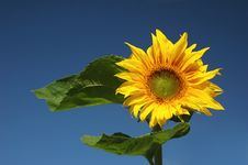 Free Sunflower Royalty Free Stock Images - 3140659