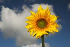 Free Sunflower Royalty Free Stock Photography - 3140677