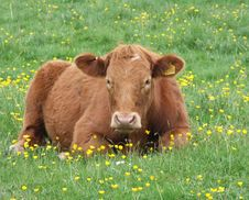 Free Cow Resting In Field Royalty Free Stock Photos - 3143348