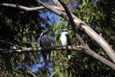 Free Laughing Kookaburras Royalty Free Stock Photography - 3143677
