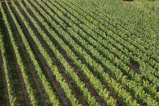 Free Vineyard Royalty Free Stock Photography - 3143807