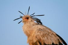 Free Secretary Bird Stock Photography - 3143892