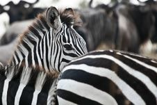 Free Plains Zebra Stock Photography - 3143942