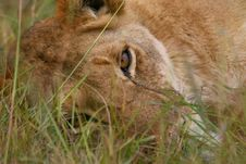 Free Lioness Portrait Royalty Free Stock Images - 3143989