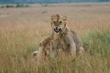Free Lion Couple Royalty Free Stock Image - 3144016