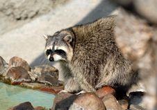 Free Raccoon Royalty Free Stock Images - 3144049