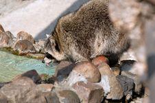 Free Raccoon Stock Photos - 3144173