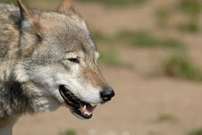 Free Wolf Royalty Free Stock Photos - 3144238
