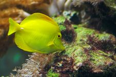 Free Yellow Tang Royalty Free Stock Photo - 3144325