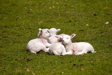 Lambs In Field Stock Photo