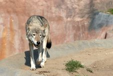 Free Wolf Stock Photos - 3144383