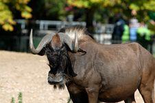 Free Antelope Royalty Free Stock Images - 3144579