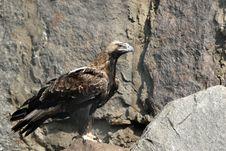 Free Eagle Stock Photo - 3144780
