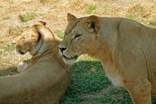 Free Lioness And Lionet Royalty Free Stock Photo - 3144845